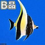 (海水魚)(B品)ツノダシ Lサイズ(1匹) 本州・四国限定[生体]