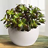 Crassula ovata Minor - 1 plant