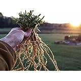 #1008 INDIAN GINSENG* ASHWAGANDHA 25 seeds