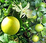 Cocktail Tree - Two Trees in 1 Pot - Meyer Lemon/Key Lime -Fruiting Size-10