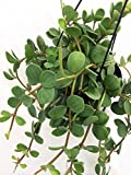 Hope Peperomia - Easy to Grow Houseplant