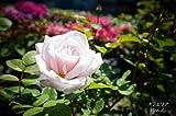 バラ苗 オフィーリア オリジナル角鉢 中苗 木立バラ 四季咲き ピンク 強香 強健 バラ 苗 薔薇 バラ苗木