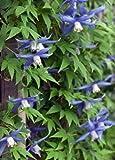 Blue Bird macropetala Clematis 15 Seeds - Vine