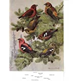 """7.5"""" X 11"""" Double-Sided Colour Plate Crossbills & Redpoll (American Birds) ~ Birds Colour plate"""