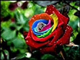 Mystic Rainbow Flower - Rosa Seeds Rose - 10 Seeds - Qualityseeds4less Exclusive
