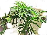 セローム [フィロデンドロン] 観葉植物