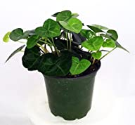 Sweetheart English Ivy – Hedera – 4″ Pot – Easy to Grow, Indoors