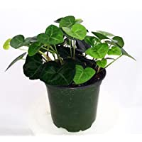 Sweetheart English Ivy - Hedera - Easy to Grow, Indoors