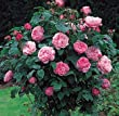 """Mary Rose"" English Rose-Tree Form Five Gallon Container"