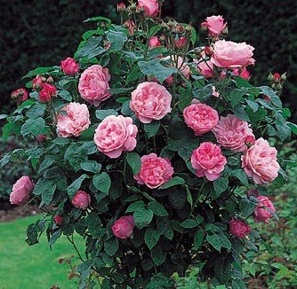 Rose Bushes TypesYellow Rose Bushes Types