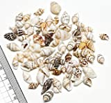 【小さな貝殻パーツ】フトコロガイ