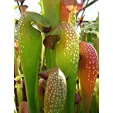 10 pcs/pkt Sarracenia minor | Hooded Pitcherplant Tree Seeds For Planting