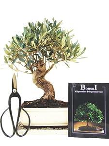 Bonsai Geschenkset, Anfänger Sparset Olive, ca. 10 Jahre alt, ca. 34 cm hoch (Abb. ähnlich)