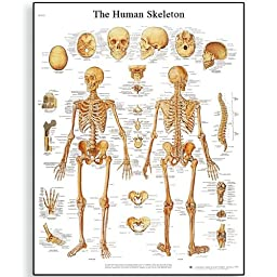 3B Scientific VR3113L Glossy UV Resistant Laminated Paper El Esqueleto Humano Anatomical Chart (Human Skeleton Anatomical Chart, Spanish), Poster Size 20\