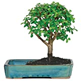 Brussel's Jade in Water Pot Bonsai
