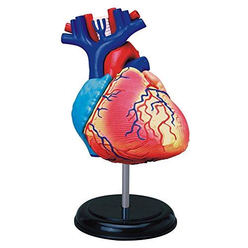 Tedco Human Anatomy - Heart Anatomy Model (Human Heart Model compare prices)