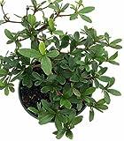 """Dwarf Black Olive Pre-Bonsai Tree - Great Indoors - 4"""" pot - Bucida spinosa"""