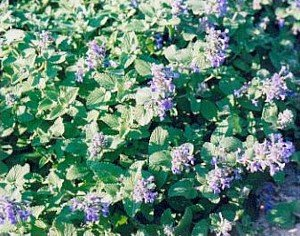 Buy Catmint Perennial 4 Plants – Nepeta mussini- Very Hardy