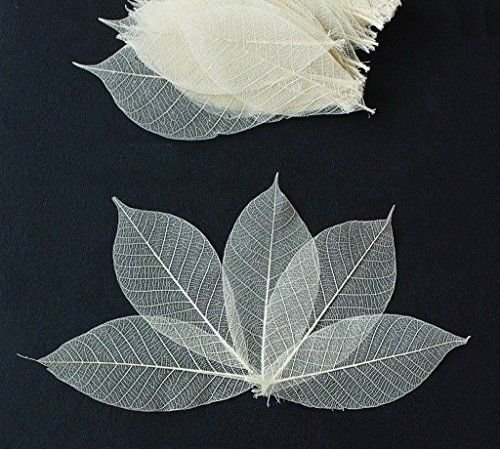 100 Mini Skeleton Leaves Rubber Tree Natural color Scrapbook Craft Card Wedding (Peter Pan Scrapbook Paper compare prices)