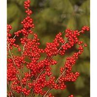 Berry Nice® Winterberry - Ilex - Deer Resistant - Proven Winners - 4
