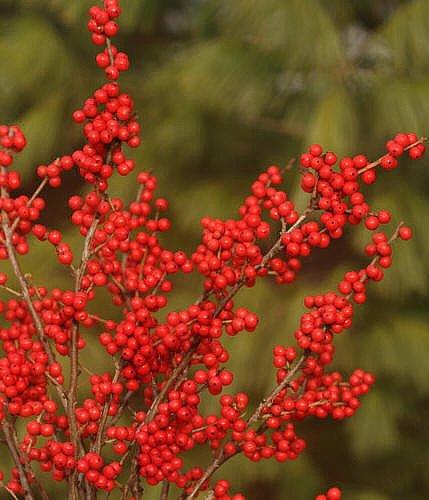 Berry Nice Winterberry - Ilex - Deer Resistant