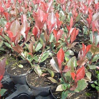 rote-glanzmispel-red-robin-photinia-fraseri-red-robin-125-150-cm-ballenware-2-25-pro-m