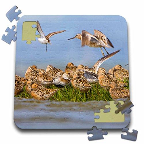 Danita Delimont - Birds - USA, Washington, Bottle Beach, Greys Harbor Shorebirds - US48 GLU0302 - Gary Luhm - 10x10 Inch Puzzle (pzl_147871_2)