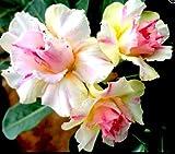 adenium plant NO.7541