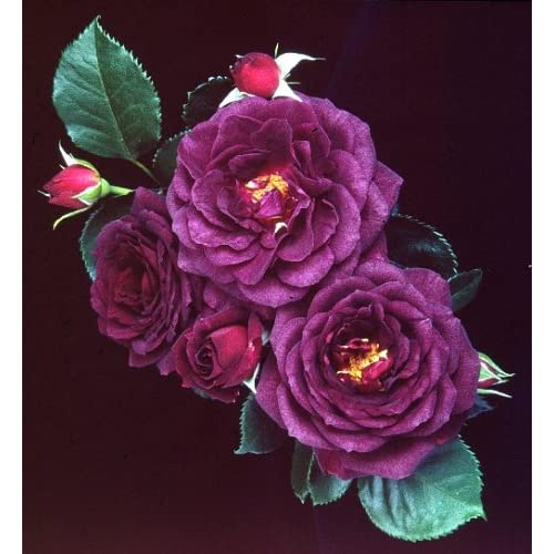 Amazon.com : Ebb Tide Floribunda Rose : Rose Plants