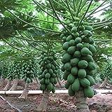 PAPAYA DWARF VARIETY Orange Flesh /Large & Soft Juicy Fruit ! PACK OF 1000 SEEDS ! By Seedscare India
