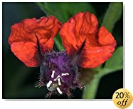 """Bat Face Mexican Heather Plant - Indoors/Out - Cuphea - 4"""" Pot"""