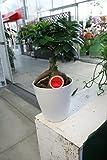 【ラッピング代込】 観葉植物 ガジュマル 5寸鉢 【ギフト】