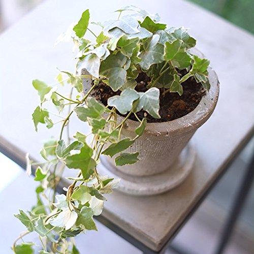 観葉植物【Ivy spotted white+pot[check]】アイビー 斑入り ホワイト 鉢 インテリア グリーン プランツ テーブル デスクトップ プレゼント