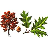 Red Oak Trees, Hardy Perennial Variable Listing (six Trees 12-24 inches)