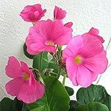 オキザリス:ボーウィー3.5号ポット 4株セット[秋から冬に愛らしい花を咲かせるハナカタバミ]