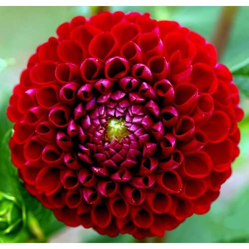 Amazon.com: Cornell Giant Ball Dahlia, 1 Tuber - Fiery Red!