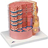 筋繊維モデル