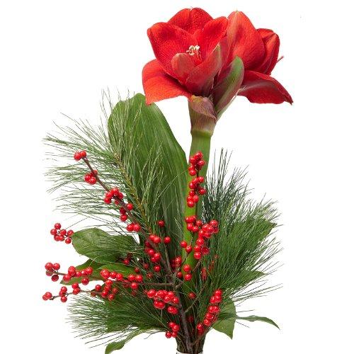 blumenversand-blumenstrauss-zu-weihnachten-advent-rote-amaryllis-mit-ilexzweig-mit-gratis-grusskarte