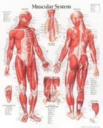 Muscular System Male chart: Wall Chart