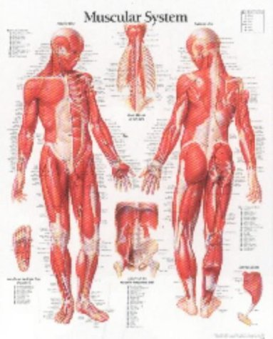 Muscular System Male chart: Wall Chart (Anatomy Chart Muscles compare prices)