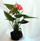Pink Anthurium Hawaiian Volcano Rock Bonsai - Great Living Gift