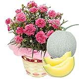 母の日 ギフト カーネーション 鉢植え 5号鉢(ピンク)とメロンのセット