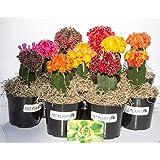 Fat Plants San Diego Grafted Moon Cactus Succulent Plants (3, Multi)