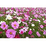 """Cosmos Sensation Mix - Grow Cosmo Garden Flowers. Includes: (1) Pre-seeded 17"""" x 5' Flower Seed Mat. Simply Roll out, plant and grow. Instant garden mat for flowering bushes."""