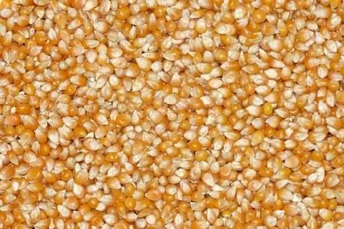 Grains of Corn for a Background. - 48