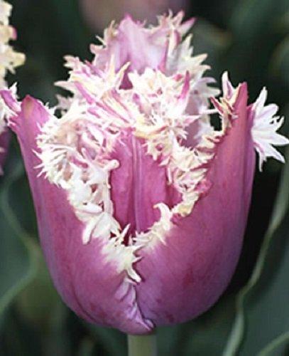 raritat-tulipa-gefranste-tulpe-cummins-