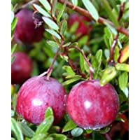 American Cranberry Bush - Great Groundcover - Delicious - 4