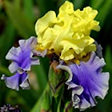 Iris germanica Edith Wolford – 3 plants