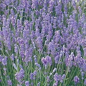 hidcote blue lavender herb 8 perennial plants 2 5 pots. Black Bedroom Furniture Sets. Home Design Ideas