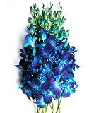 Just Orchids - Blue Dendrobium Orchids